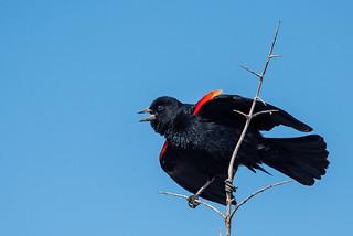 1804_1853 Red-winged Blackbird