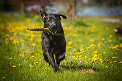 Gio playing ... (Explore) (Alex Verweij) Tags: gio labrador dog hond spelen playing stok running rennen hollen 1year 1jaar 2018 200mm canon5d 5d markiii happy vrolijk almere lumiere alexverweij lumierepark ear ears oor oren filmwijk park explore