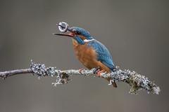 Catch (RhysHughes5) Tags: fish kingfisher feeding perch bird wildlife nature photography beak life natural