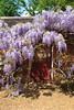 Wisterial Doorway 0231 (Thorbard) Tags: kingstonlacy nationaltrust spring spring2018 wisteria flowers garden thekitchengarden flowering door doorway mystery mysterious gardener outdoors canonefs1585mmf3556isusm
