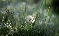 Dandelion Wine #1 (gorelin) Tags: warszawa warsaw zlotoklos green grass dandelion poland polska closeup macro summer spring flowers nature fe55f18za zeiss ilce7m2 a7ii a7 alpha sony
