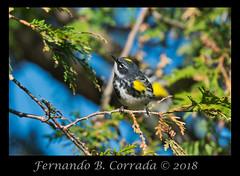 Yellow-rumped Warbler (7001) (fbc57) Tags: nikond850 sigma150600dgoshsmsport vermont birds greenwoodcemetery bristol yellowrumpedwarbler setophagacoronata yellowrumpedwarblermyrtle warblers woodwarblers