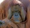 orangutan Kevin Apenheul BB2A0638 (j.a.kok) Tags: orangutan orangoetan orang animal asia azie ape apenheul aap mammal monkey mensaap primaat primate zoogdier dier kevin
