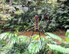 Spider (markb120) Tags: spider spinner caterpillar web cobweb spiderweb net tissue spidersweb animal beast brute nature kind grain