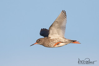 common redshank in Iceland