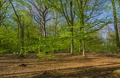 Spring in the Pålsjö forest (frankmh) Tags: tree spring beech pålsjö helsingborg skåne sweden