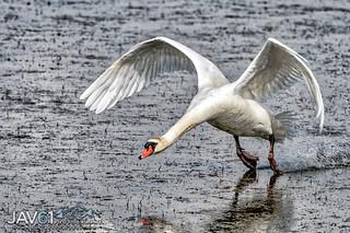 Mute swan-Cygnus olor-4855