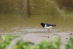 2018.05.10 Seaton (21) (Kotatsu Neko 808) Tags: seaton devon birds