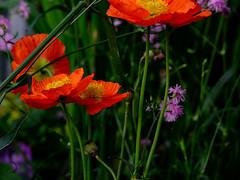 Pavots/poppies (bd168) Tags: poppies pavots fleurs flowers printemps spring colours couleurs verdure bokeh greenery xt10 xf50mmf2rwr