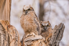 May 3, 2018 - A pair of Great Horned Owl owlets in Thornton. (Tony's Takes)