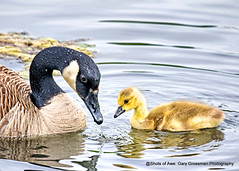 Generations (Gary Grossman) Tags: mother baby goose gosling spring renewal generations life stream water waterfowl geese ridgefield washington wildlife refuge garygrossmanphotography pacificnorthwest wildlferefuge nationalwildliferefuge wildlifephotography naturephotography nature canadageese
