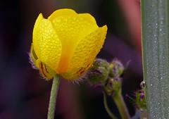 Dewy morning buttercup (Matt C68) Tags: dew dewy dewfall water droplets macro grass flower buttercup butter cup