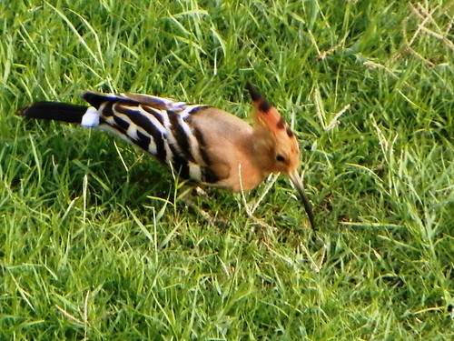 Agra 53 - Eurasian hoopoe in Red Fort