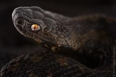 Adder (Vipera berus) (Matthijs Hollanders) Tags: adder viper snake venomous reptile blackadder melanism melanistic netherlands nederland viperaberus vipera berus