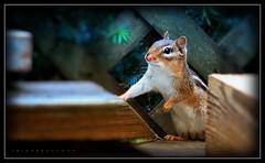 Hesitation (J Michael Hamon) Tags: chipmunk rodent animal mammal vermin cute groundsquirrel closeup portrait outdoor nature may hamon nikon d3200 nikkor 55300mm vignette photoborder wildlife