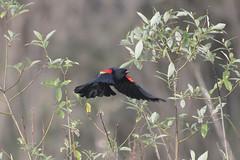 Red winged flight (woodwindfarm) Tags: red winged blackbird flight flying redwinged sundaylights