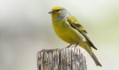 Venturon montagnard - Citril finch (Carduelis citrinella) (Alexandre VDY) Tags: venturon finch citril montagnard bird