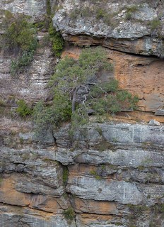 Sydney peppermint tree growing on a cliff