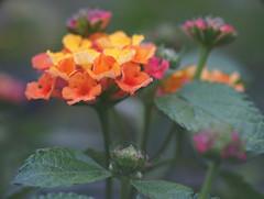 DSC08248 (Old Lenses New Camera) Tags: sony a7r reichert neupolar 100mm f63 macro plants garden flowers lantana