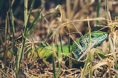 Eye-catcher (Inka56) Tags: smileonsaturday eyecatcher lizard greenlizard closeup 7dwf fauna grass