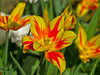 Leuchtend / Lucent (schreibtnix on 'n off) Tags: deutschland germany bergischgladbach frühling springtime pflanzen plants blüte blossom tulpe tulips nahaufnahme closeup leuchtend lucent olympuse5 schreibtnix