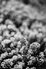 Bunches (belleshaw) Tags: blackandwhite laarboretum nature flowers meadow blooms plants garden detail abstract bokeh