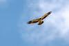Águila calzada (Aquila pennata) Aguia calzada (Felipe Ogando) Tags: águilacalzada aquilapennata aguiacalzada aves felipeogando morfeofilms naturaleza