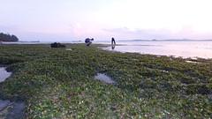 Lush meadows of Spoon seagrass (Halophila ovalis) at Changi (wildsingapore) Tags: changi carpark7 seagrasses halodule ovalis halophila island singapore marine coastal intertidal shore seashore marinelife nature wildlife underwater wildsingapore landscape