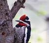 Red-naped Sapsucker (Susan Jarnagin) Tags: bird sphyrapicusnuchalis az cochisecounty cochisestronghold rednapedsapsucker woodpecker arizona