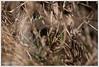 Natrix natrix (Thor Hakonsen) Tags: natrixnatrix grasssnake buorm snok vattensnok