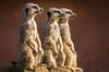 Three Wise Men (Paul A Wiles) Tags: meerkat yorkshirewildlifepark pwiles1968