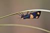 Eudesmia ruficollis (Rodrigo Conte) Tags: eudesmia ruficollis eudesmiaruficollis sphinx sphinxruficollis ruscino gerba mariposa moth erebidae arctiinae lithosiini eudesmiina insect insecta inseto brasil brazil brasilia buzznbugz fantasticnature brasilemimagens