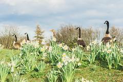 Spring march.   #innercircle #bird #hill #springtime #nakedplanet #daffodils #art #goose #nature #earthofficial #Flickrdaily #wildlifeplanet #light #shadows #london #wildlife #flowers #Flickr #birds #naturelover #Flickr_nature #springwatch #tree #Flickr_f (jophipps1) Tags: london goose birds flickrdaily prettycitylondon bird wildlife art flowers springtime nature wildlifeplanet tree innercircle flickrflowers hill flickr naturelover flickrnature light nakedplanet shadows earthofficial daffodils springwatch landscape