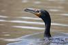 Double-Crested Cormorant (NickJaramillo) Tags: doublecrestedcormorant birds newjersey cormorant wildlife morristown canon nature