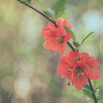 Quince - with my bubble maker lens thumbnail