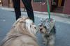 Charles, Yorkshire Terrier (Charley Lhasa) Tags: ricohgrii grii 183mm 28mm35mmequivalent iso2500 ¹⁄₈₀secatf28 0ev aperturepriority pattern noflash s001288 dng uncropped taken180423194836 uploaded180426040418 3stars flagged adobelightroomclassiccc73 lightroomclassiccc73 adobelightroom lightroom charles dogsmet dusk evening yorkie yorkshireterrier newyork unitedstates us charley charleylhasa lhasaapso dog dogs sidewalk neighborhood upperwestside uws manhattan newyorkcity nyc ny tumblr180426 httpstmblrcozpjiby2xrndfo
