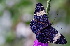 buttterfly (bnbalance) Tags: blue butterfly nature