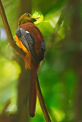 It looks like a leaf.............. (mishko2007) Tags: harpactesoreskios orangebreastedtrogon kaengkrachan thailand 150500mm