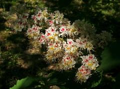 White Horse Chestnut Flower (Wolfgang Bazer) Tags: horse chestnut rosskastanie aesculus hippocastanum flower blüte blütenstand inflorescence botanischer garten wien vienna österreich austria