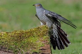 DSC8577  Cuckoo...