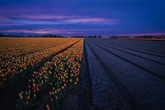 Half-field Lisse (l.cutolo) Tags: netherlands onesoftware sonya7ii purple dutchlandscape tulips flickr blomen landscape purplesunsetsky hillegom flowers sony perfecteffect hollandscape dutchscape lisse saturation hdr lucacutolo digitalblending onone worldtrekking sunset vignette blue tlp ngc tulip raw2018 worldtrekker highcontrast sonyfe1635mmf28gm