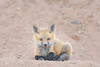 Fox Kit (Amy Hudechek Photography) Tags: fox kit animal wildlife nature wild eye contact spring colorado sunrise amyhudechek nikond500 nikon600mmf4