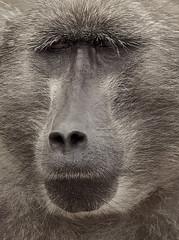 Darwins Children (Vide Cor Meum Images) Tags: mac010665yahoocouk markcoleman markandrewcoleman videcormeumimages vide cor meum nikon nikkor28300 d750 animal animals safari chacma baboon portrait face south african facial expression cape point good hope travel world
