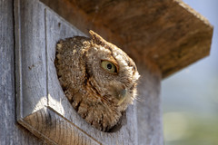 Screech Owl (DFChurch) Tags: bird nature owl screech florida fort myers sixmilecypressslough animal megascopsasio
