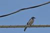 IMG_6551 (armadil) Tags: frontyard bird birds jay jays scrubjay