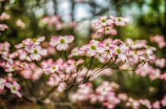 dogwood (kderricotte) Tags: ilce7m2 sonya7ii sony bokeh dogwood depthoffield flower tree plant outdoor spring bloom 50mm sonyfe50mm18 sel50f18f
