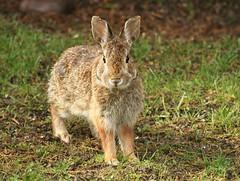 Does Some Bunny Need A Little Cuteness This Morning? (bearbear leggo) Tags: bunny rabbit furry cute wildlife photography outdoors ontario backyard sweetness