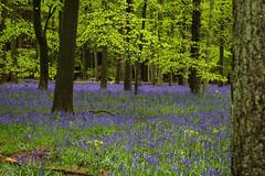 IMG_7803.jpg (ChodHound) Tags: ashridgeestate bluebells
