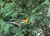 Cape May Warbler 3 (Rita Wiskowski) Tags: lakepark wisconsin milwaukee milwaukeecounty