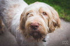 123/365 - Hendrix (Forty-9) Tags: photoaday eflens 2018 day123 forty9 3652018 3rdmay2018 365 dog tomoskay spinone lightroom thursday canon may hendrix 123365 eos60d project3652018 03052018 ef50mmf18ii dogphotography project365 italianspinone